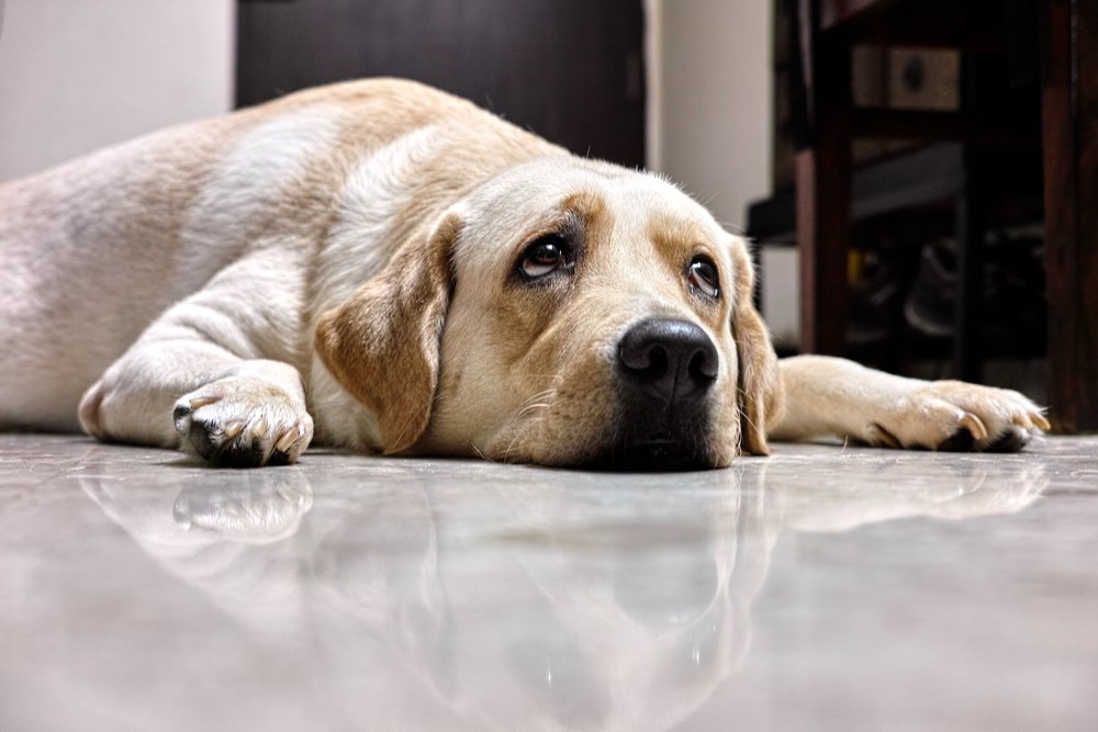 Precious - I'm the prettiest Labrador bar none, not just in Mumbai...