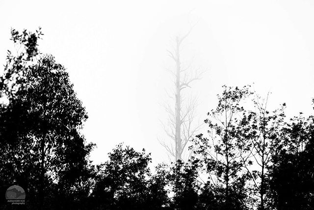 Matchstick  Driving out from Lake Rhona near the town of Maydena I had my eye captured by this singular tree in the fog. #tasmania #discovertasmania @tasmania #blackandwhite