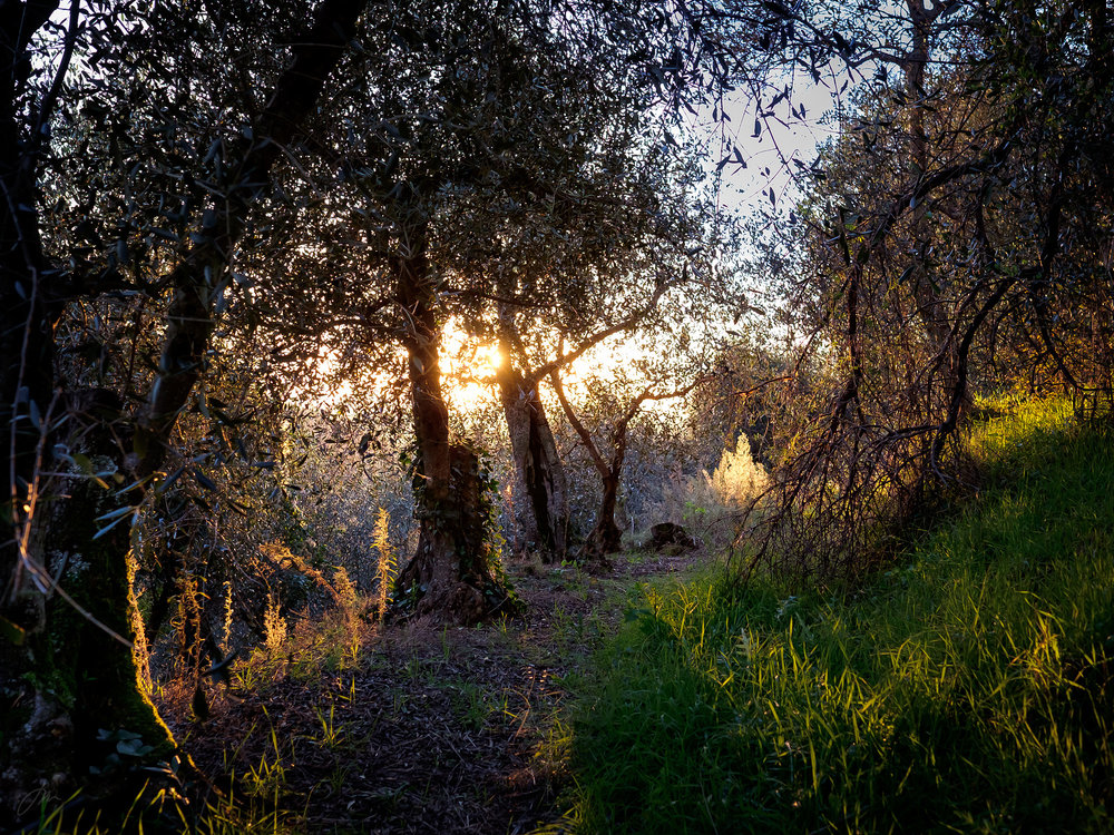 Forlatt olivenlund i Montemagno