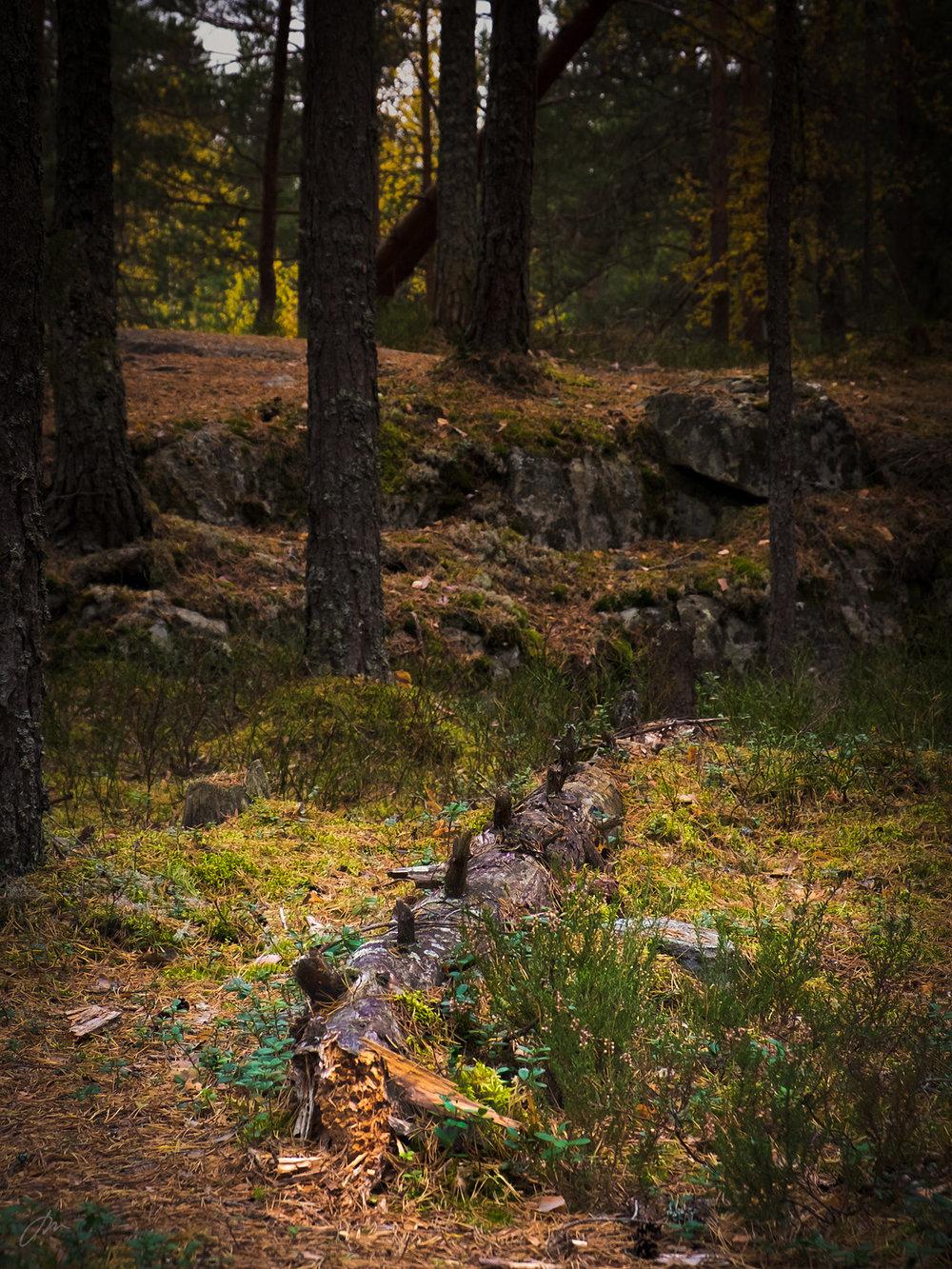 I en ekte urskog står trærne til de faller