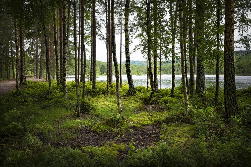 Trær i myrlandskap – uke 28