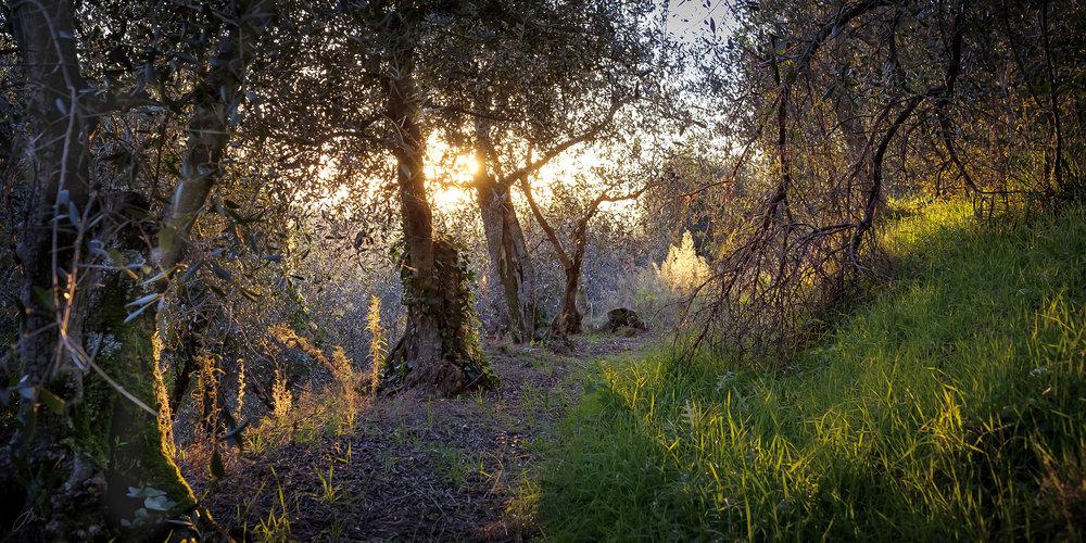 Fra en forlatt og overgrodd olivenlund i Montemagno, Toscana