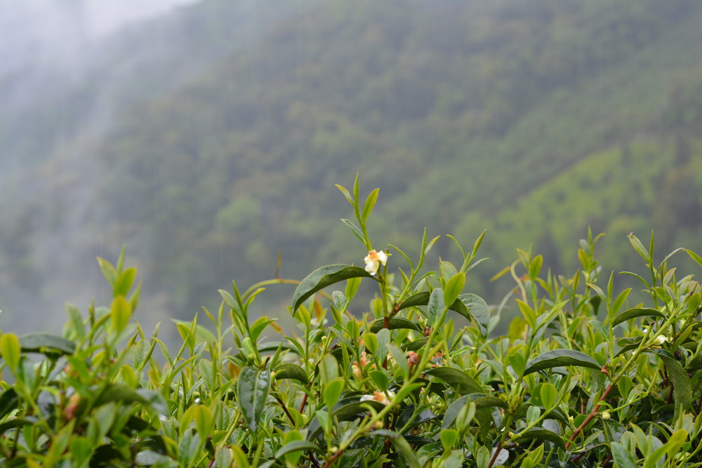 After almost two hours up the mountain, we arrive at the estate of our new High Mountain Black Tea, in LiShan, Taiwan. The quality of every tea begins with terroir, topography, soil composition, climate, and perhaps most of all, elevation. The purity of the air at 9000 ft makes this tea truly extraordinary.