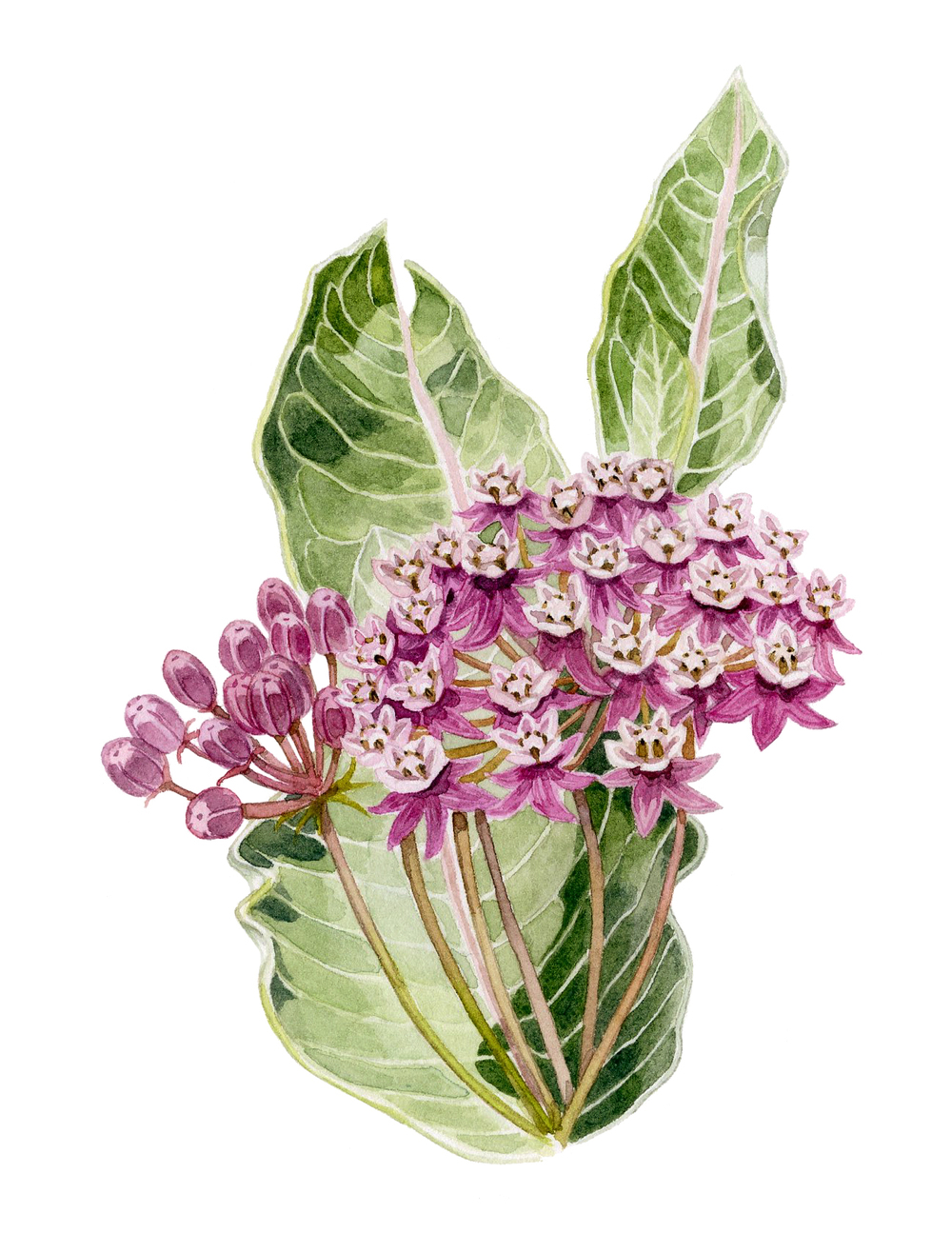 11-milkweed.jpg