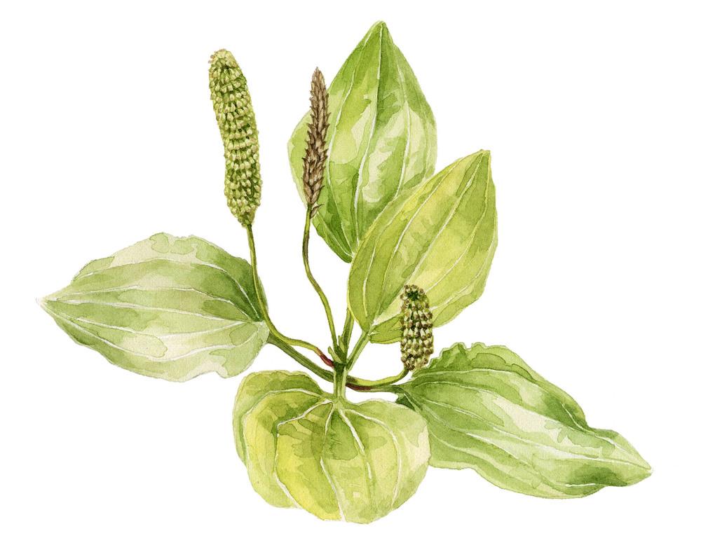 15-plantain.jpg