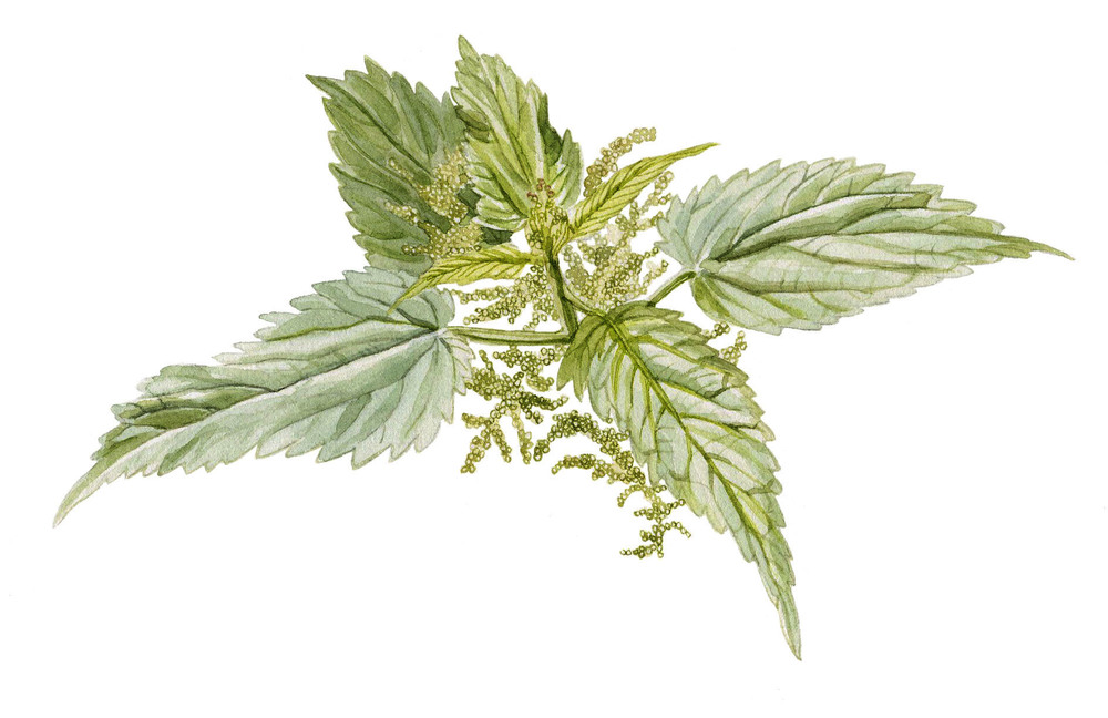 20-stingingnettle.jpg