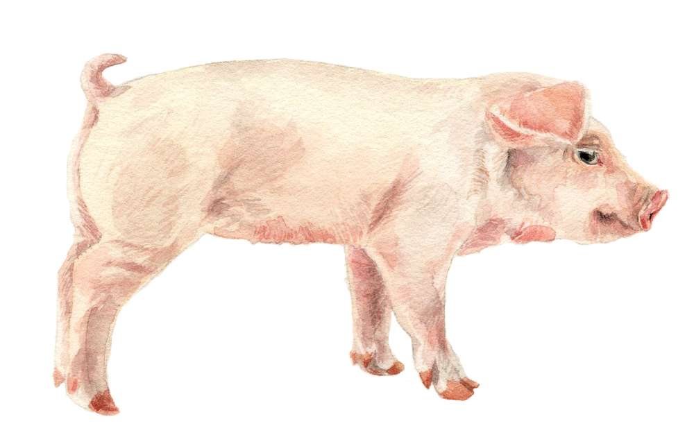 NYT-piglet-lrg.jpg