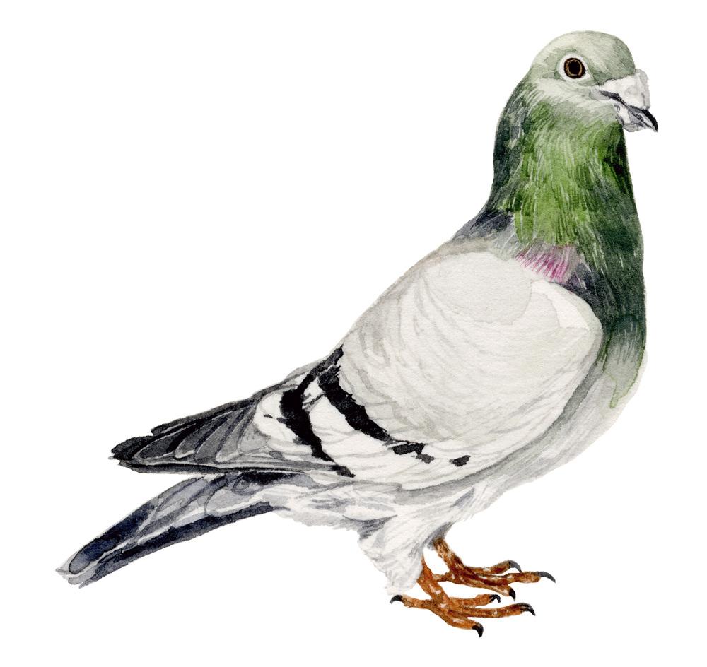 pigeon-web.jpg