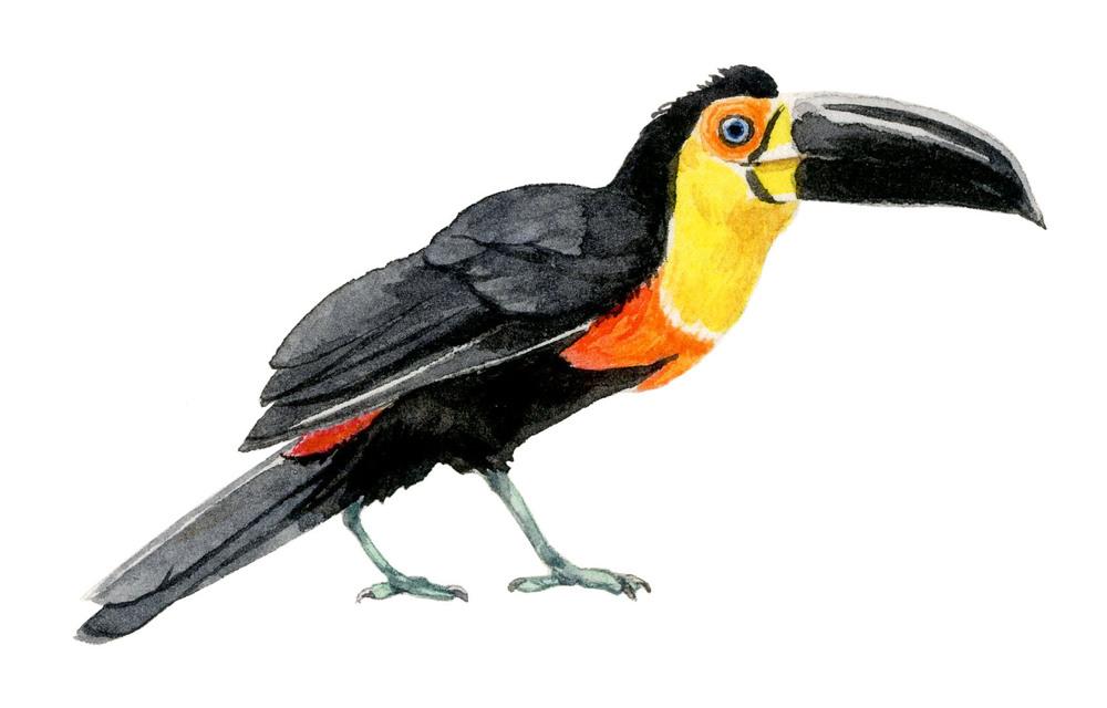aerial-toucan-lrg.jpg