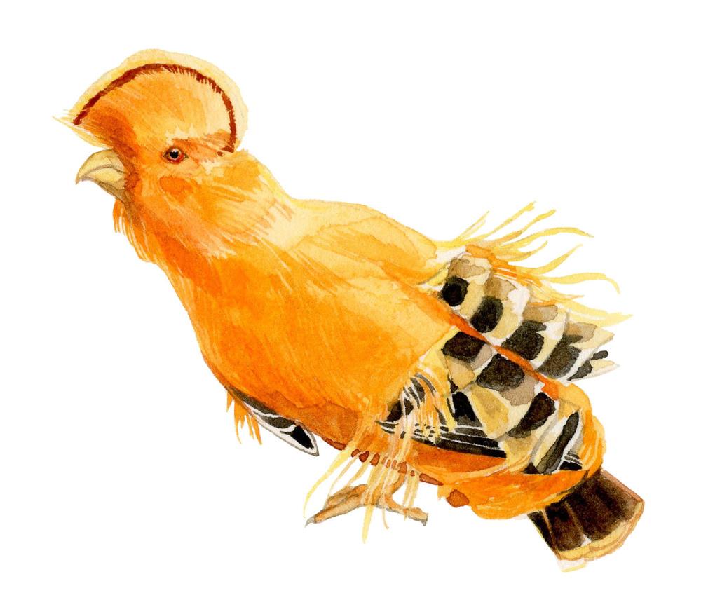 guinian-cock-lrg.jpg
