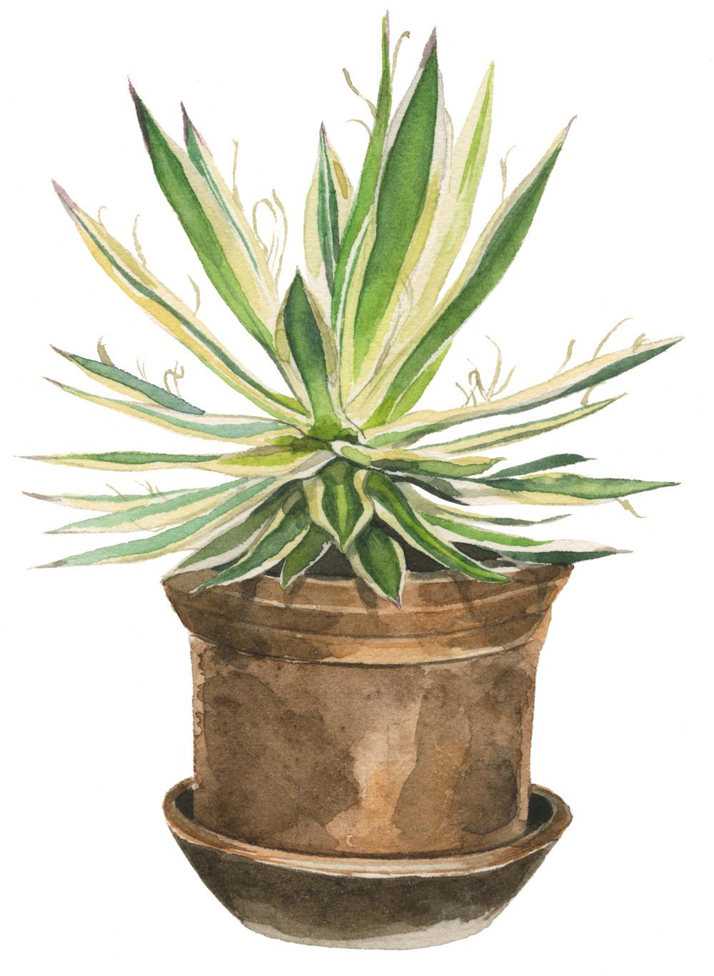 agave-lrg.jpg