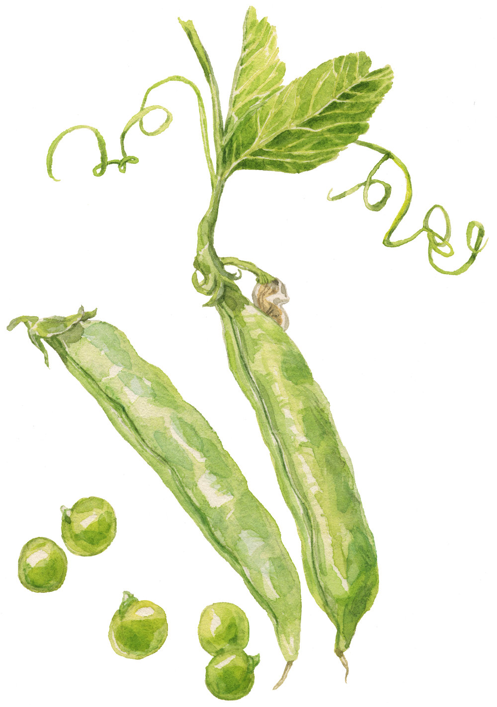 3-english-peas-lrg.jpg