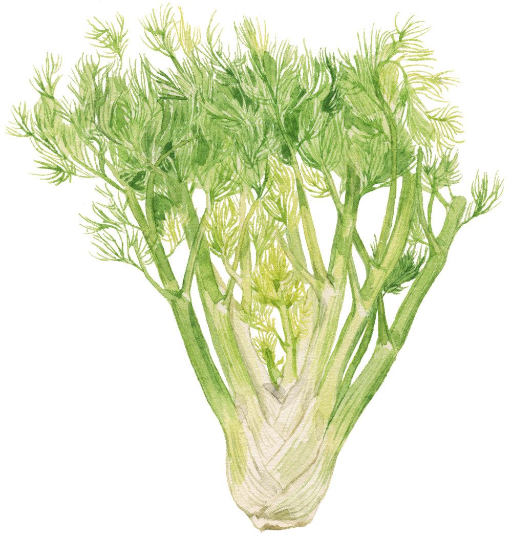 12-fennel-lrg.jpg