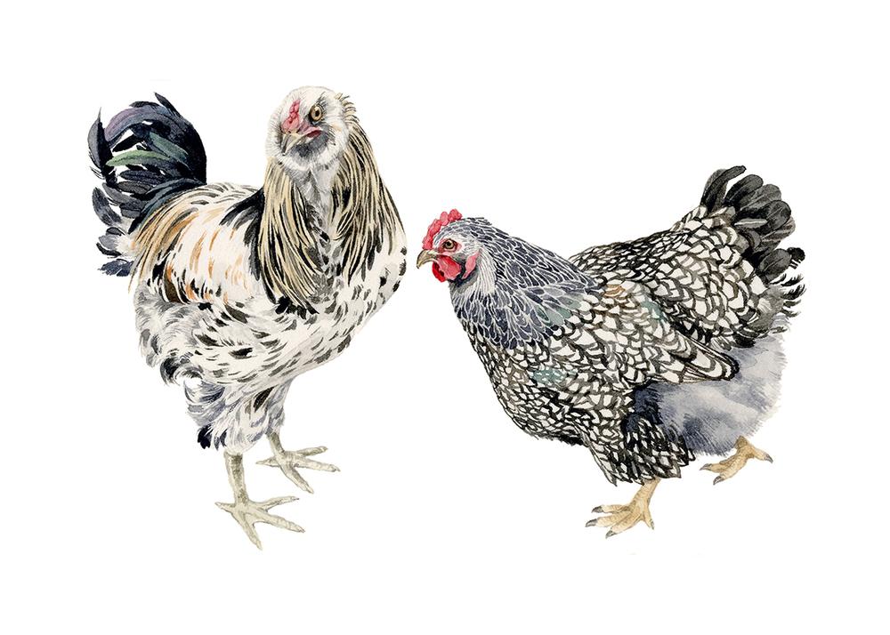 MM-wyandotte-rooster-sm.jpg