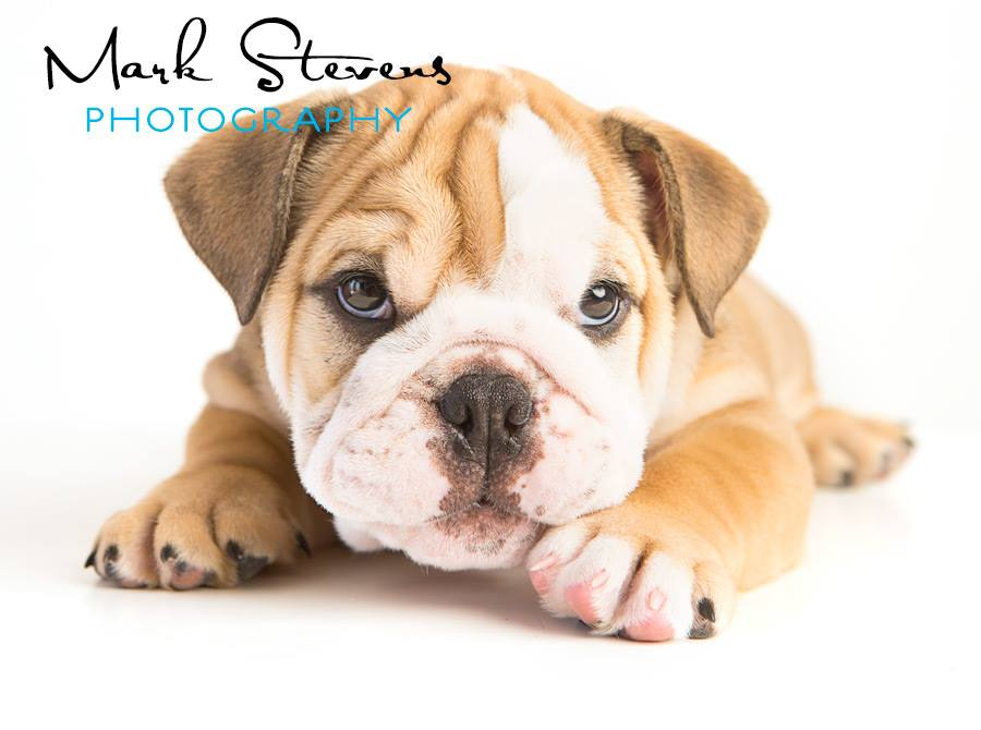 Denver Bulldog Puppy Photography