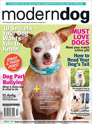 Harley, spokesdog for the National Mill Dog Rescue, is the Fall cover dog for Modern Dog Magazine.