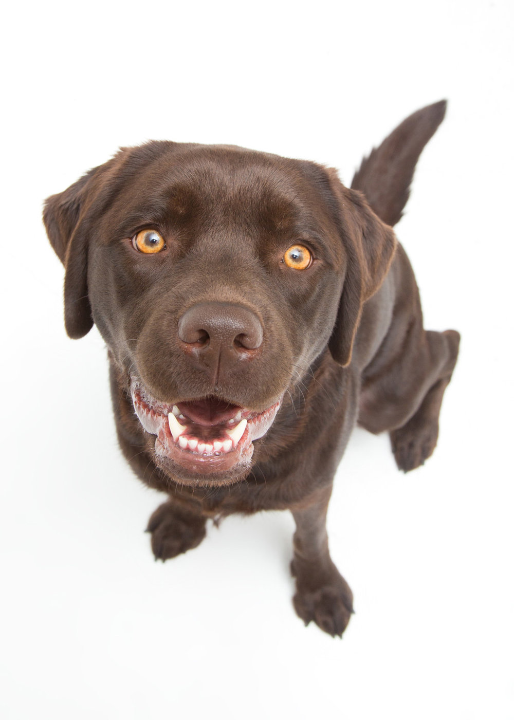 chocolate-lab-labrador-dog-portrait.jpg