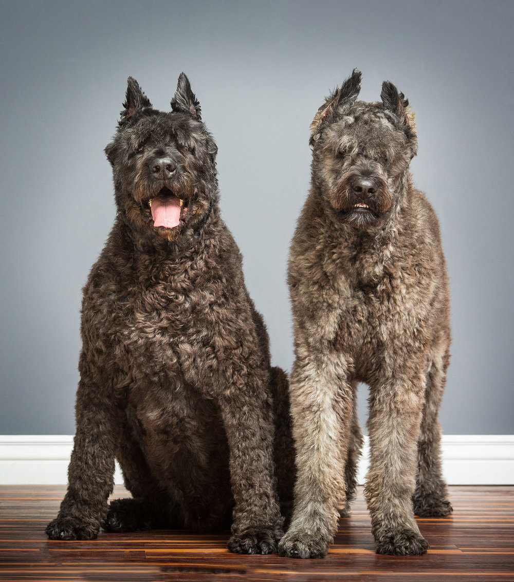 bouvier-dog-photography-purebred.jpg