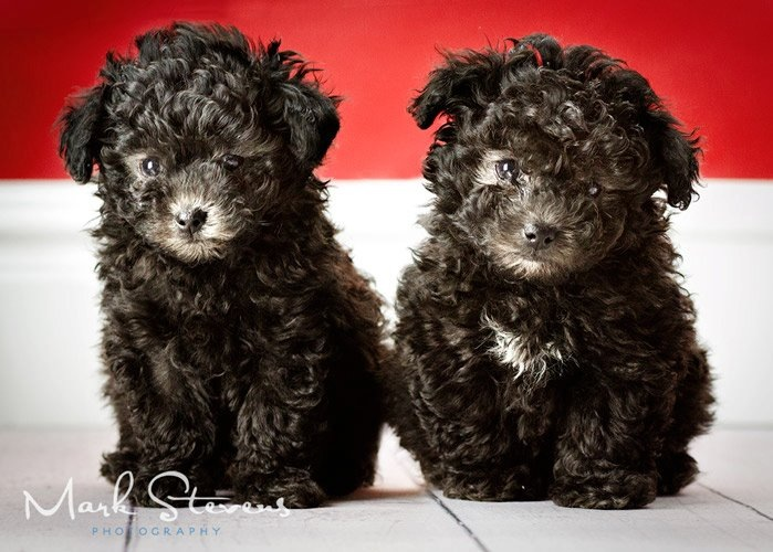 poodle-puppy-photgraphy-denver