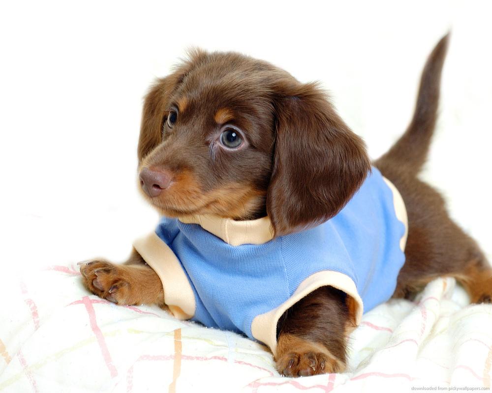 Dachshund-Puppies-Wallpaper-013.jpg