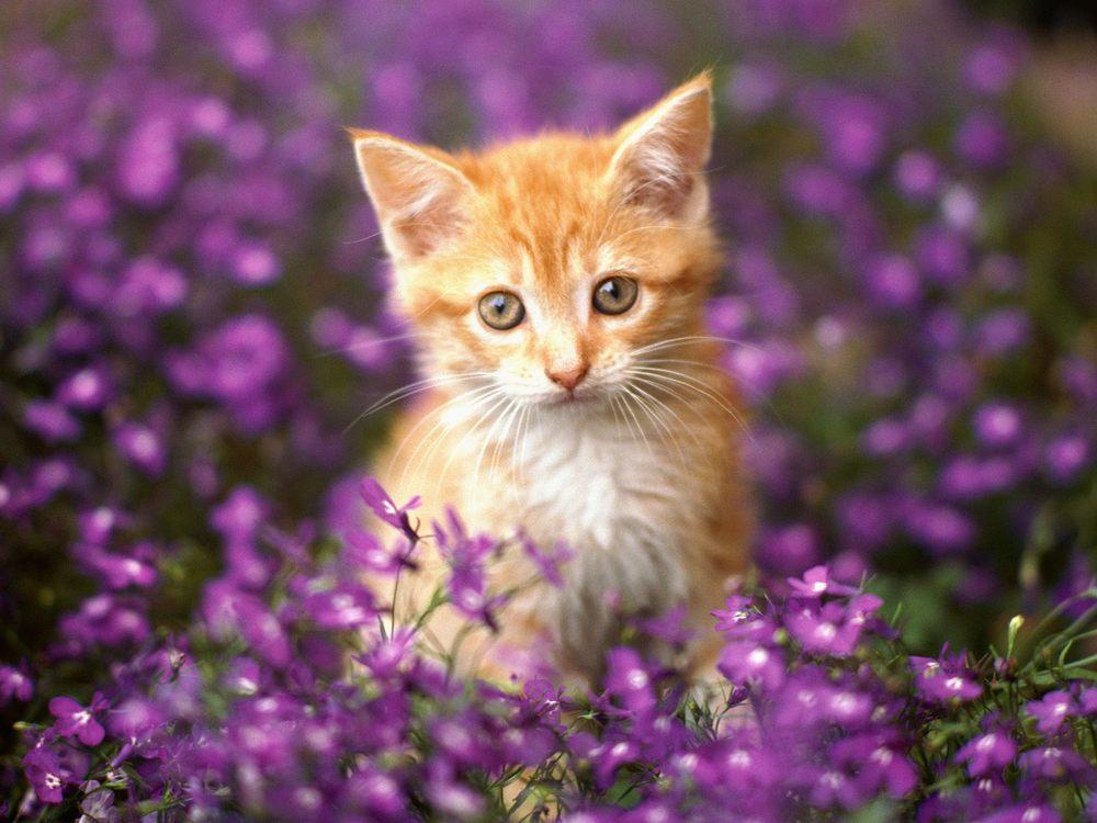 url-wide-orange-tabby-kitten-html-gerber.jpg