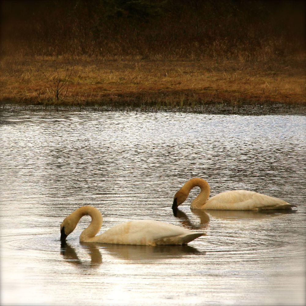 Trumpeter Swans on the Copper River Delta