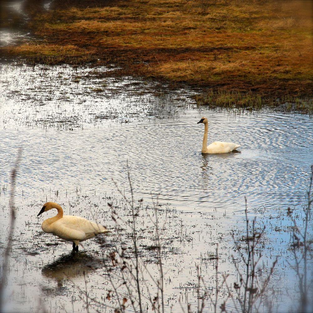 Walking Swan