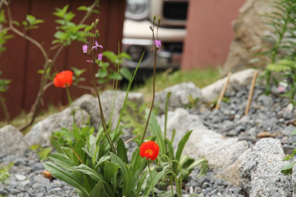 Icelandic Poppies & a Shooting Star