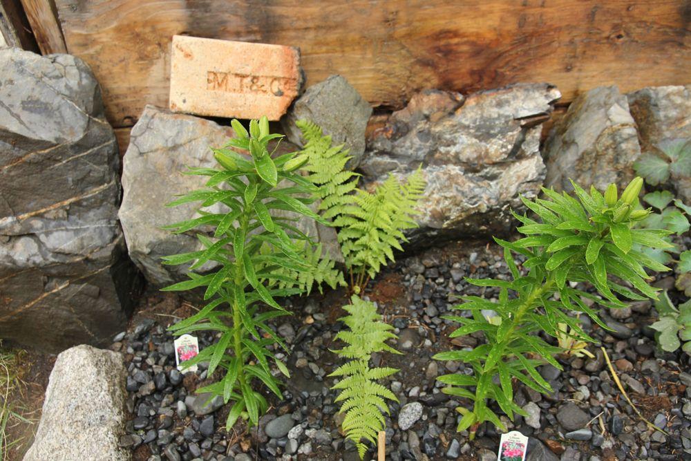 Lillies & Ferns