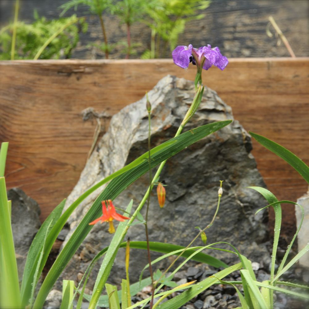 Eyak River Iris & Wild Columbine