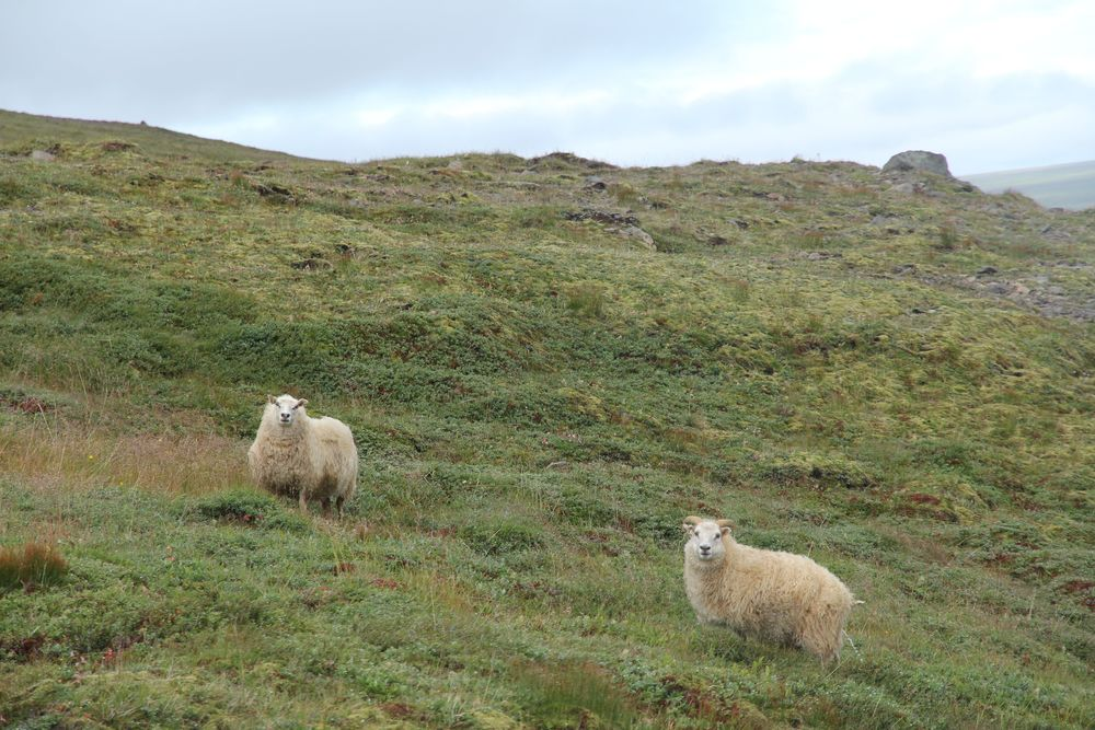 Sheep on the Fell (that's pronounce fet-lah..sort of )