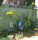 sunflowerthumbnail