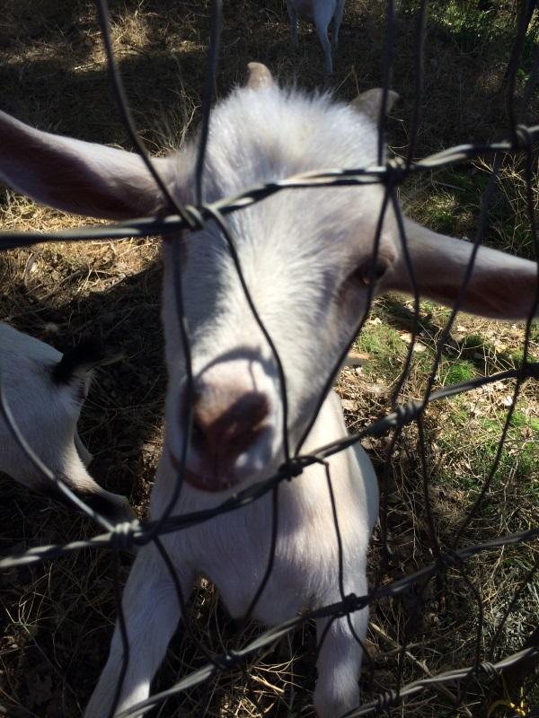 goats 2.jpg