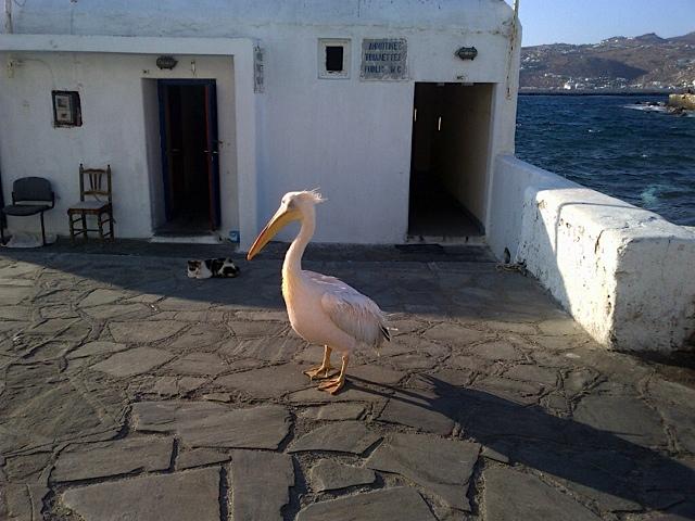 Pelikan Petros w porcie Mykonos - jeśli masz szczęscie na pewno go spotkasz :)/fot. Anna Puślecka