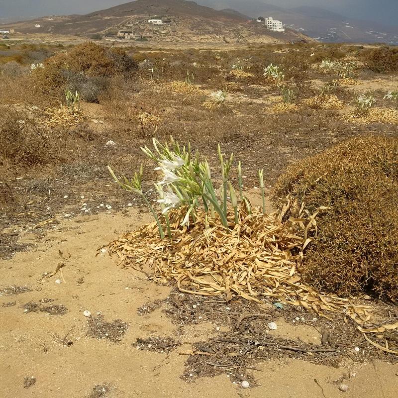 Te kwiaty rosną na plaży, w drugiej połowie sierpnia giną/fot. Anna Puślecka