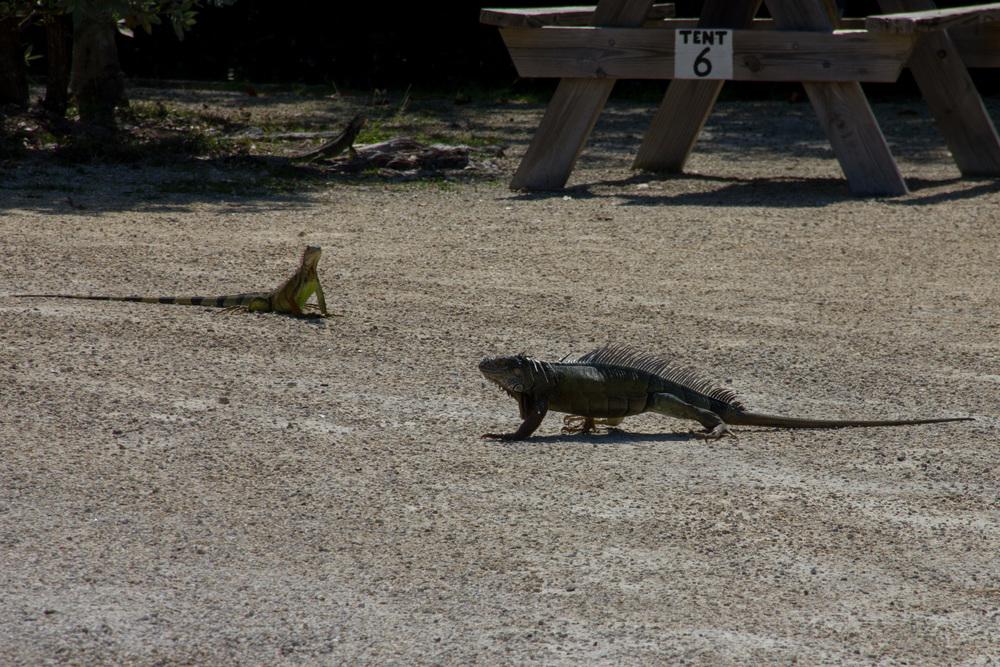 """The forty year old pet iguana, Bob."""