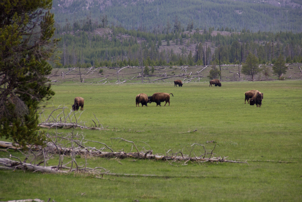 Bison, not buffalo (don't be a European!)