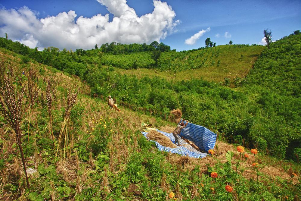 Rice Harvest - Luang Prabang