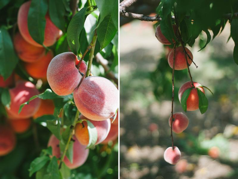 peachharvest2.jpg
