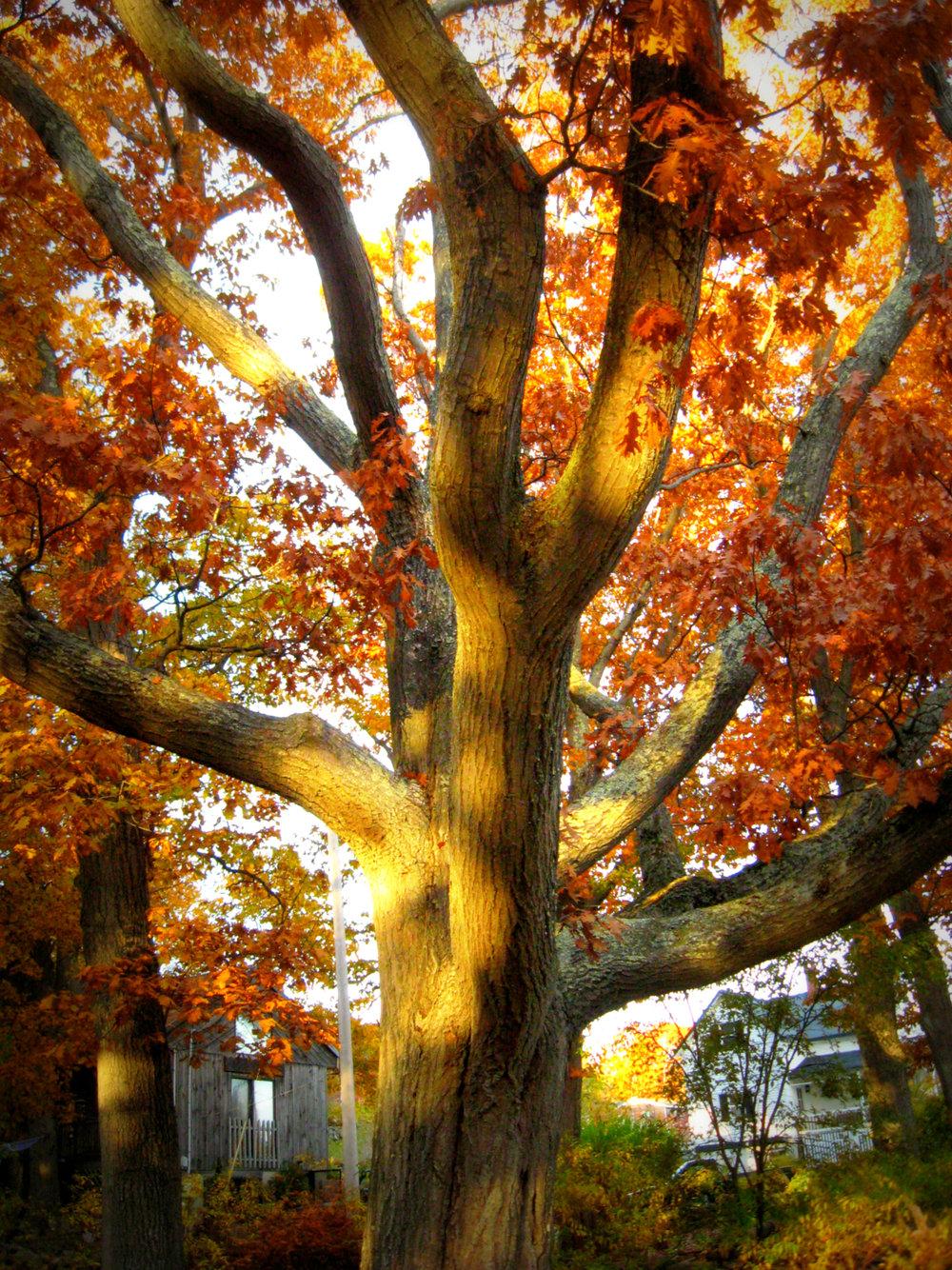 Beauty Tree Peaks Island.jpg