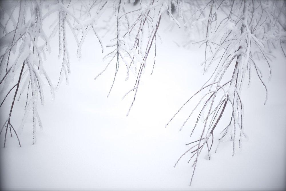 tree tips in snow TELL.jpg