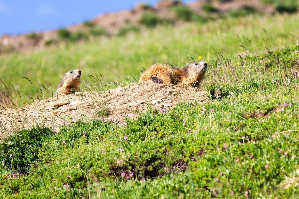 Marmotte et marmotton, au moindre signal de danger retour dans le terrier