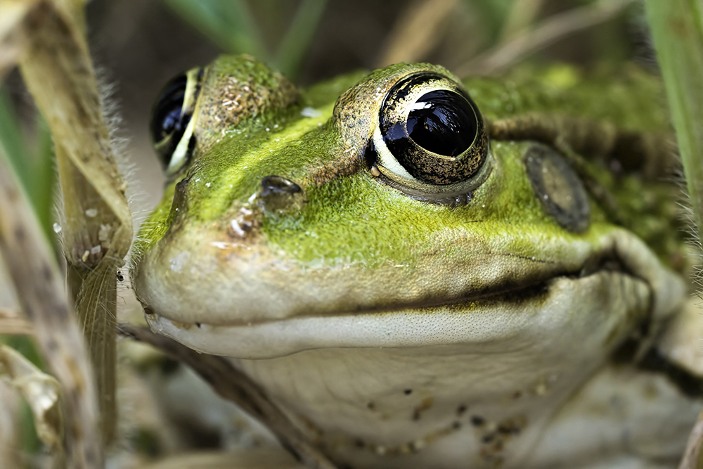 Gros plan d'une grenouille verte