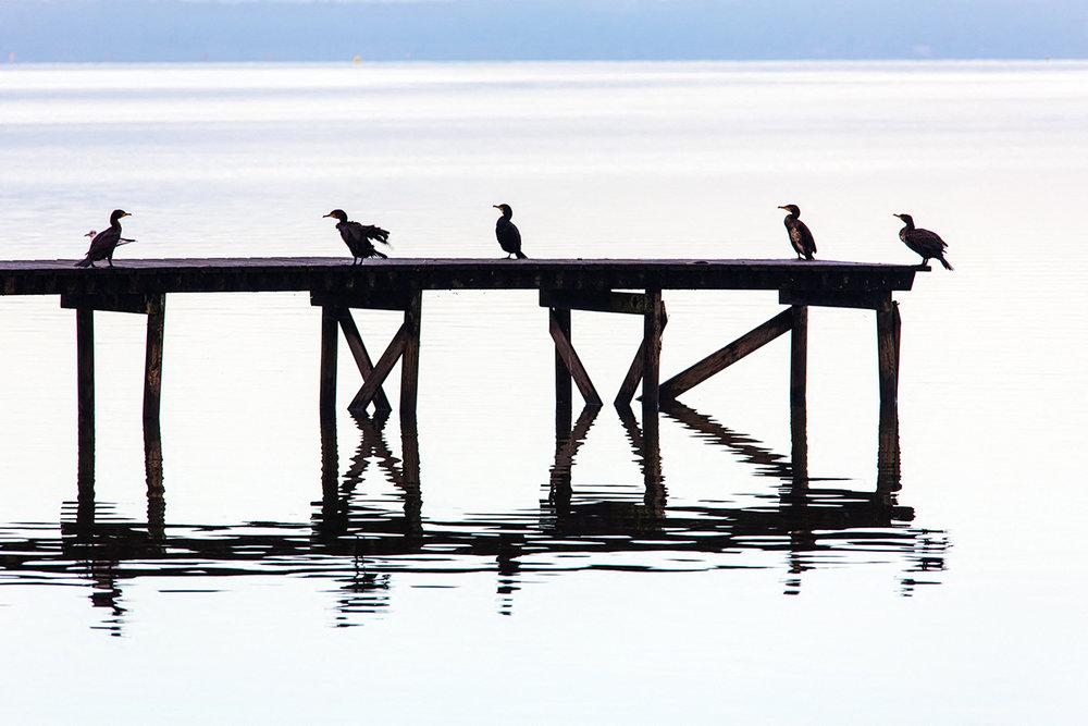 5 cormorans sur lac de Sanguinet