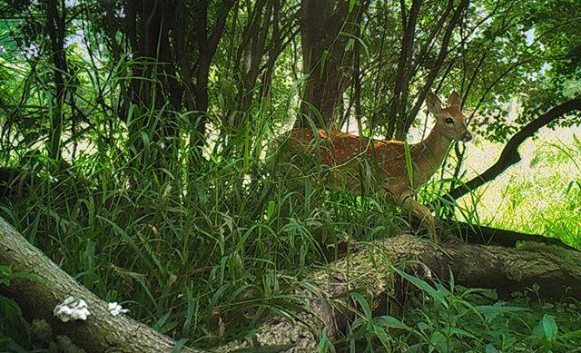 07.31.18_09.05 William Harper #fawn #deer #skokielagoons #whitetail #trailcam