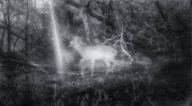 Deer spirit - #williamharper #deer #spirit #ghost #whitetail #infrared #trailcam