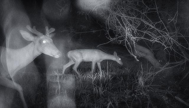 06.20.18_00.15 Wet night in June Velvet #whitetail #trailcam #buck #infrared