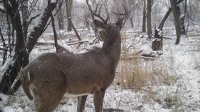 12.24.17_15.14 Ten point whitetail buck #whitetail #trailcam #gamecam #snow #tenpoint #williamharper