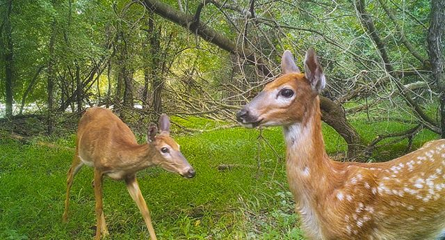 08.19.18_07.30 getting big! #deer #fawn #whitetail