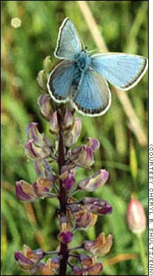 A Fender's Blue Butterfly on Kincaid's Lupine
